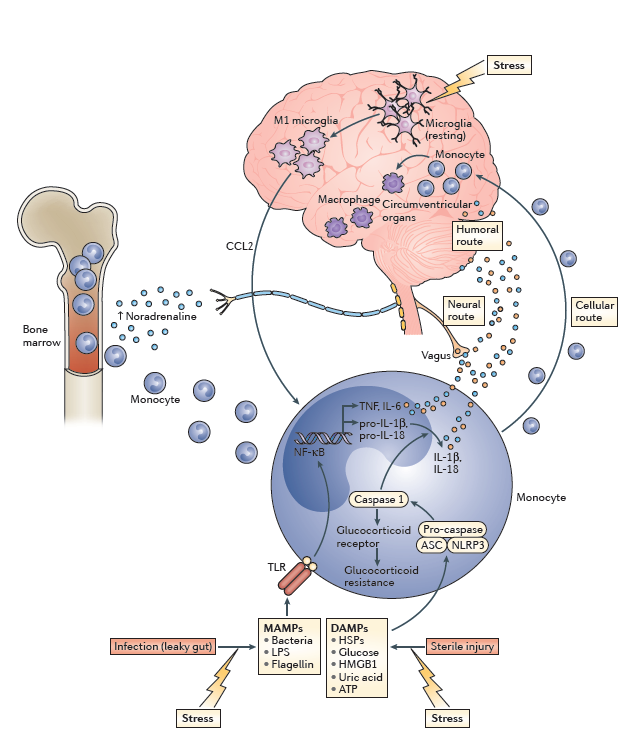 Miller, A.H. and Raison, C.L. (2016). The role of inflammation in depression: From evolutionary imperative to modern treatment target. Nature Reviews, 2016(16): 22-34.
