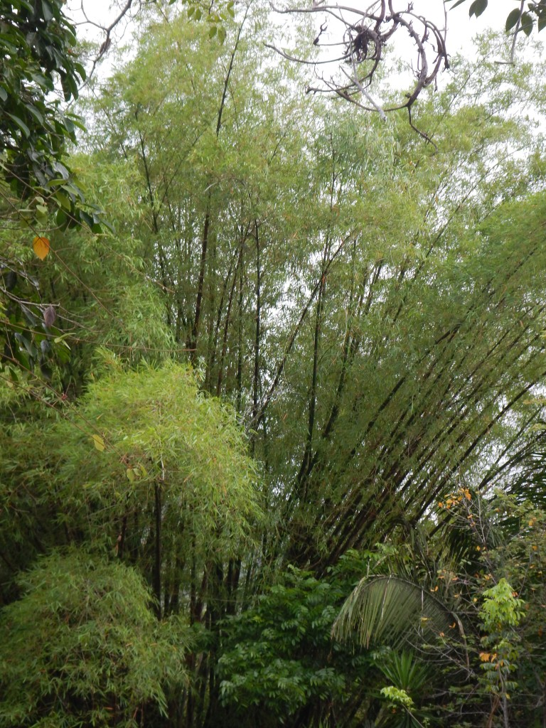 A stand of bamboo at Crystal Paradise