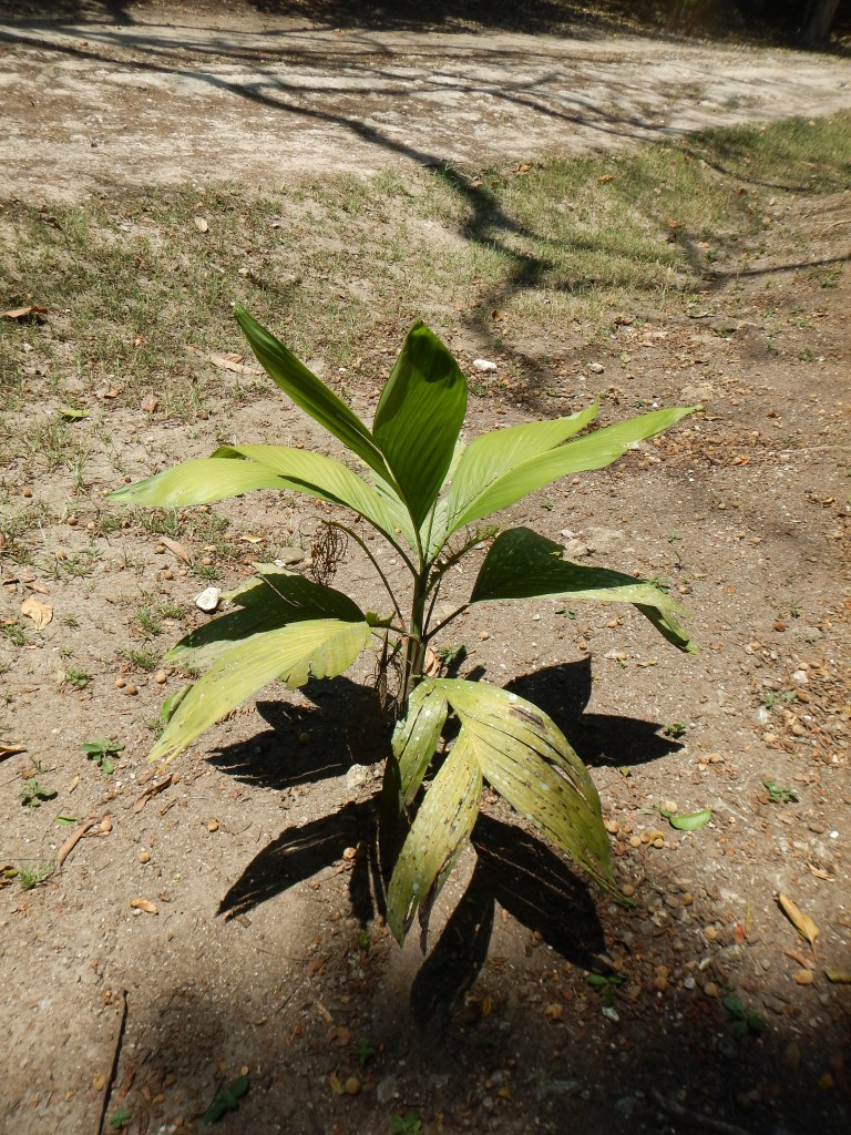 Chamedorea plant at Caracol