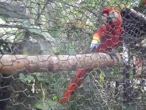 Charlie the scarlet macaw from the Belize Zoo