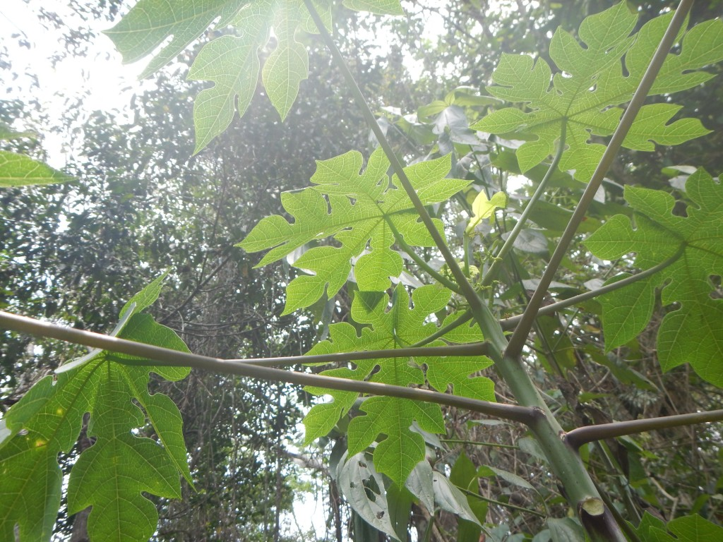 Palmate papaya leaves
