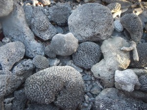 Pieces of fossilized coral