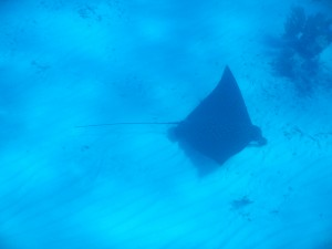 A large spotted eagle ray spotted in the fore reef