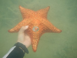A bright orange cushioned star (Oreaster reticulatus)