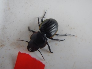 A female pinching beetle (Lucanus capreolus) from one of our pitfall traps