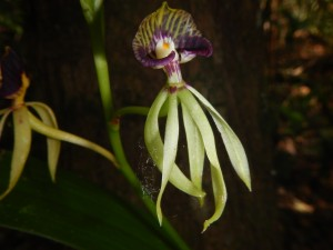 Black orchid. Belize's national flower