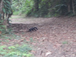 Tayra captured as it walks back into the forest cover