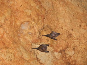 Gray fruit bats with distinctive noseleaves