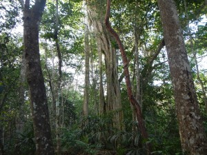 A strangler fig surrounds its host tree, eventually killing it and standing on its own