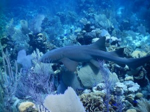A larger nurse shark seen earlier in the trip on the fore reef