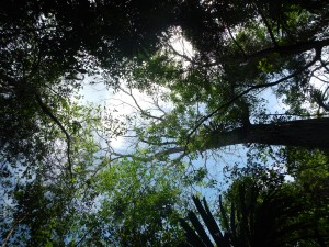 A glimpse up into the canopy of the Chiquibul Rainforest