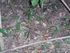 The coral snake we saw during our night hike