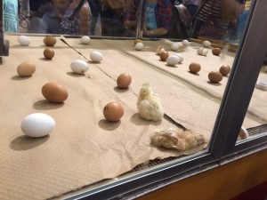I went to the Rodeo show in the third week. Honestly, the most impressive thing was the exhibition of the hatching of chicks. I wonder why this exhibition isn't held in Japan.