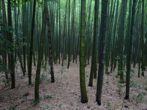 Entered the bamboo groves of Arashiyama. It is quite easy to get lost in here! ~ Donald Swen