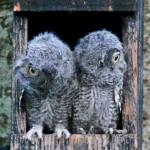 Baby Owls