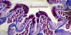 Purple coral symbiodinium