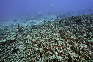 Figure 1. Fish swim over a wasteland of dead coral.