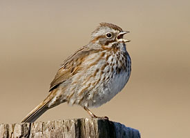 Song Sparrow (Cornell Lab of Ornithology)