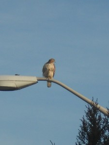 Red-tailed hawk over the I-290 expressway