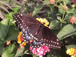 Black swallowtail butterfly, raised from egg, with folks from Sunrise Assisted Living