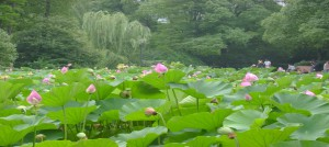 lotus blossoms in People's Park Shanghai