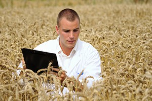 Agronomist working in a wheat field.