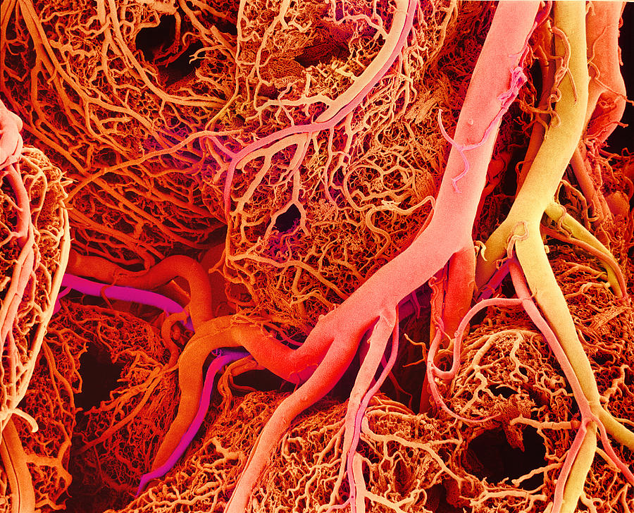 Fractal Of The Week   Blood Vessels
