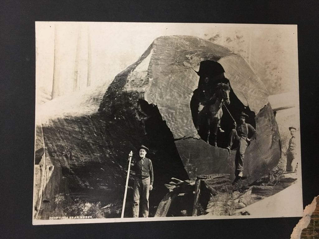 Photo of men surrounding fallen tree. The large tree contains a crevasse so large a horse has been placed inside for scale.