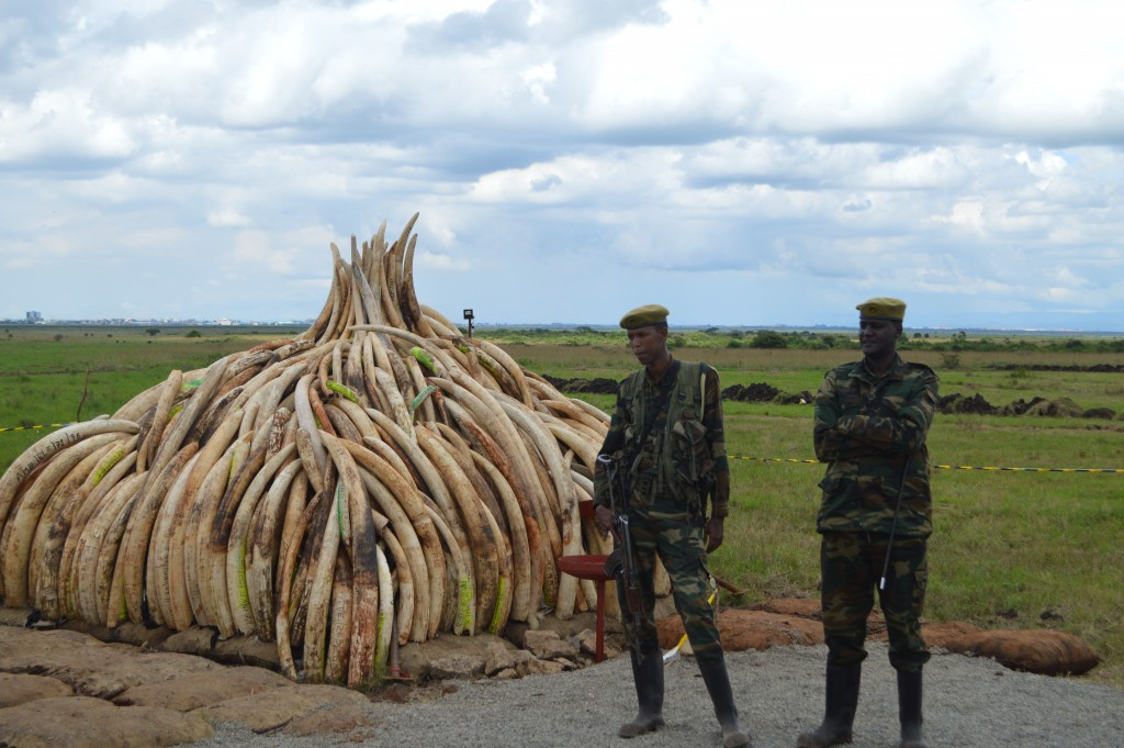 "While attending UNESCO's workshop ""Towards a Journalism of Peace"" in Nairobi, the author takes a side trip and encounters a vast inventory of confiscated ivory. (Photo by Christopher Chávez/Crossings Institute)"