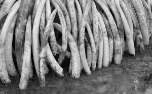 """While attending UNESCO's workshop """"Towards a Journalism of Peace"""" in Nairobi, the author takes a side trip and encounters a vast inventory of confiscated ivory. (Photo by Christopher Chávez/Crossings Institute)"""