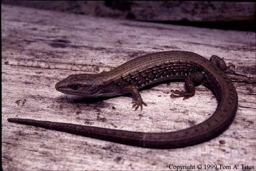 Northern Alligator Lizard | BI468/568: Amphibians and ...