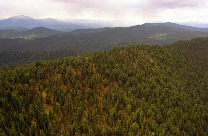 Arbachov-cedar-forest