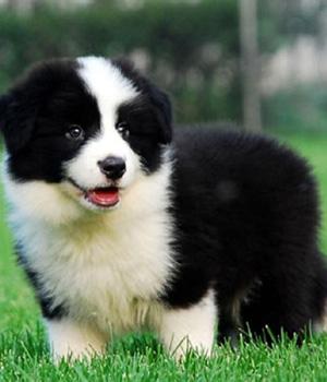 Border Collie Puppy Border Collie