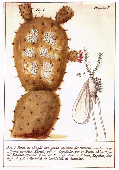 Nopal branch with a cochineal infestation and a male insect enlarged.