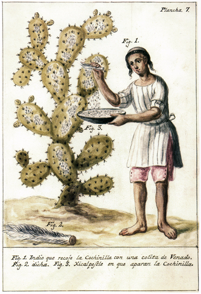 An indigenous laborer using a deer's tail to brush the insects from the nopal into a container (xicalpestle, a Hispanized Nahuatl word).