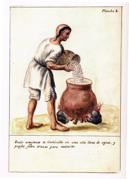 An indigenous laborer pouring the insects into a hot pot in order to kill them.