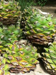 Pińas (maguey hearts) left over from the mezcal festival in the Llano park, July 2014. (Photo, S. Wood)