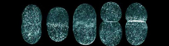 C-elegans_vert