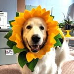 Super cute photo of Holly, the great Pyrenees office dog, in a sunflower costume.