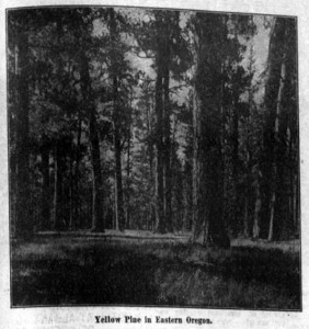 Photo of a forest of Yellow Pine.