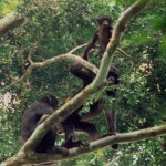 Bonobo grooming pair with infant2