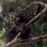 Bonobo male sitting2