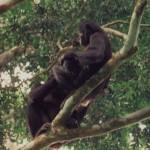 bonobo grooming pair2