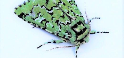 A closeup of the Pacific Nortwest moth Feralia deceptiva