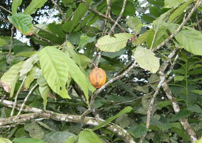 Photo of Cacao
