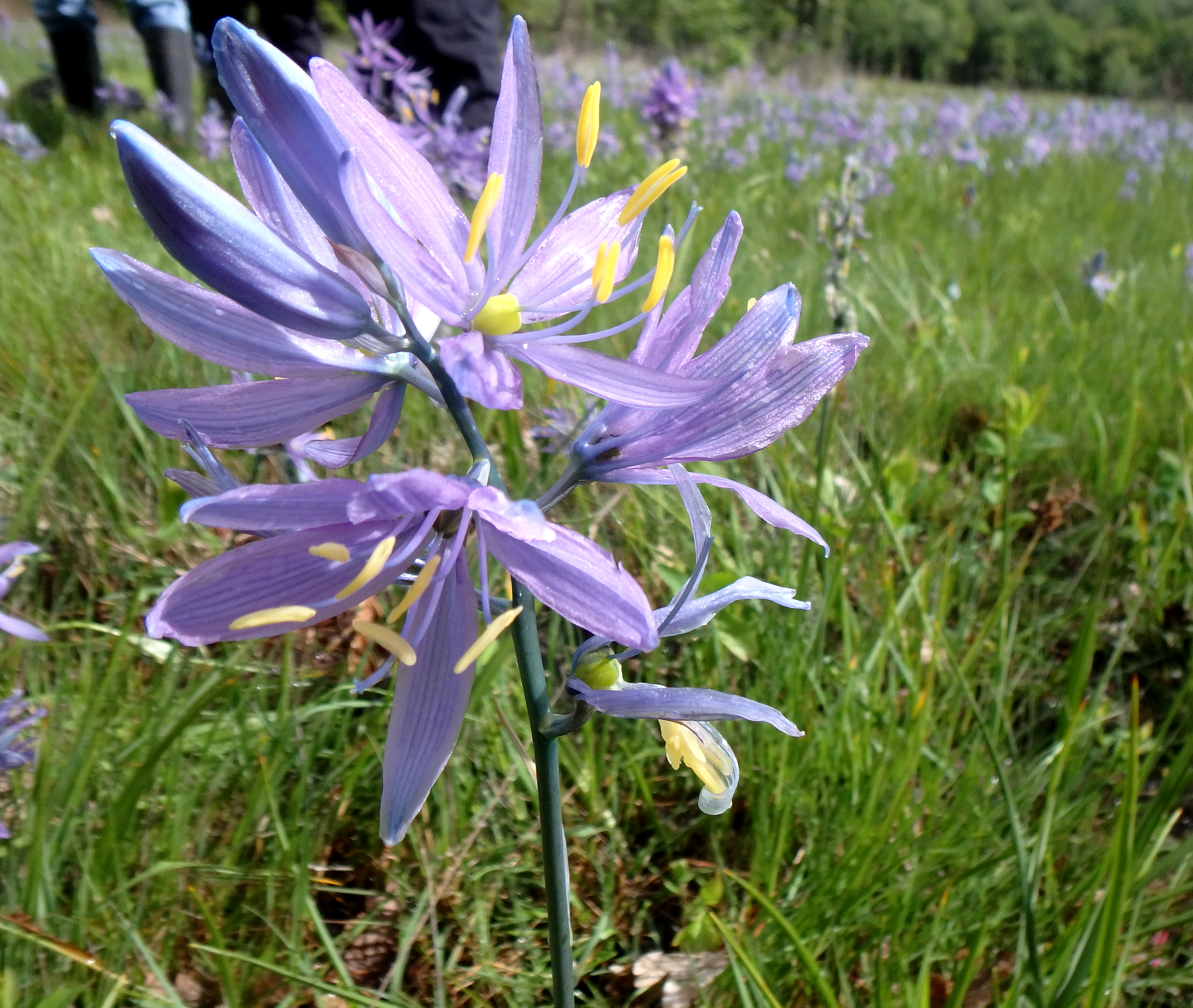 Camas flower