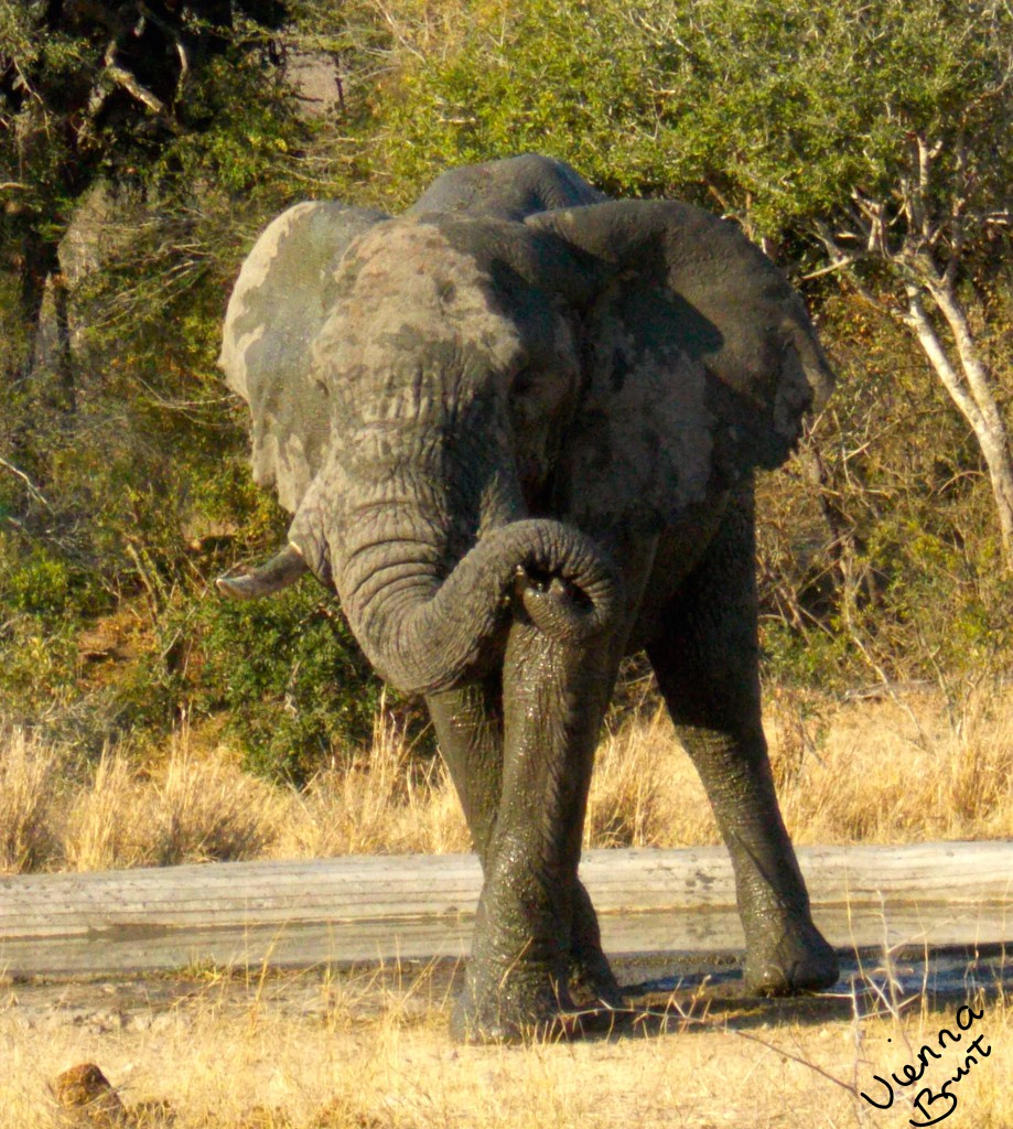 We ran into this amazing bull elephant while driving through Kruger National Park.