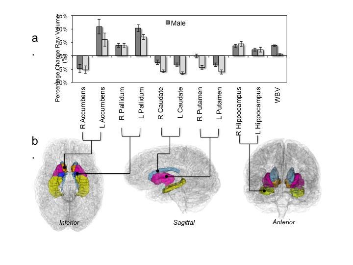 Subcortical brain development during adolescence