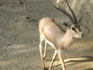 640px-Slender-horned_gazelle_(Cincinnati_Zoo)