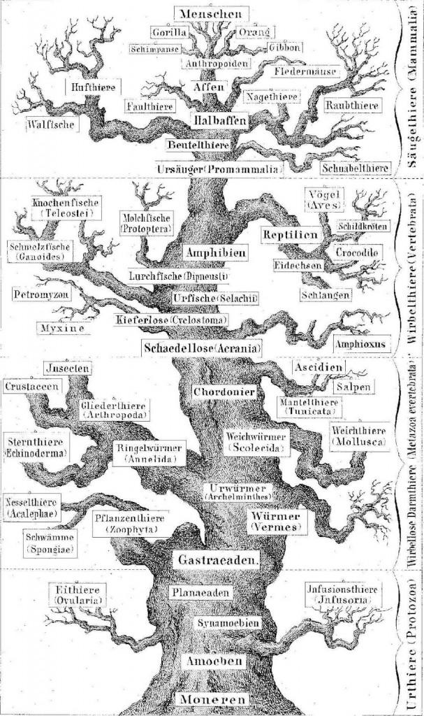 Haeckel_74
